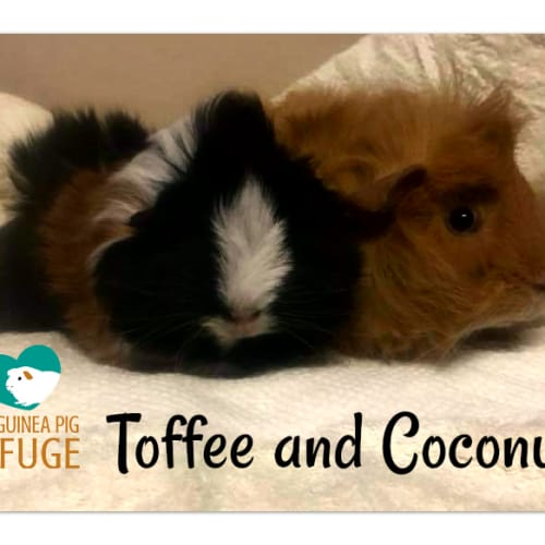 Toffee and Coconut - Abyssinian Guinea Pig