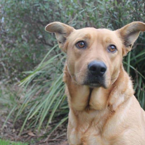 Tiana - Kelpie Dog