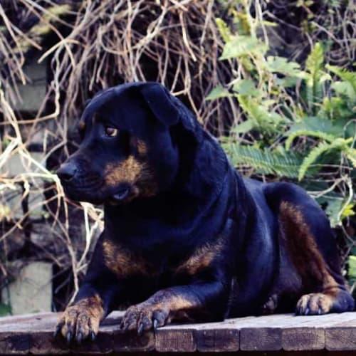 Willow - Rottweiler Dog