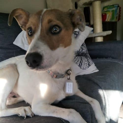 Tigger - Staghound x Whippet Dog
