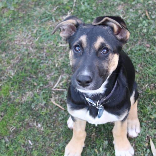 Dante - Staghound Dog