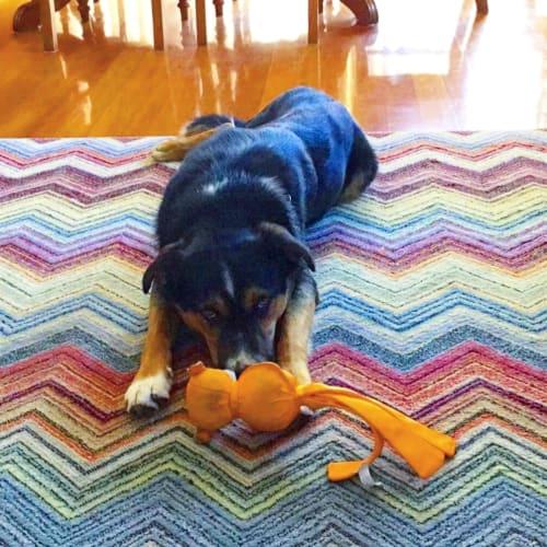 Atilla - Australian Shepherd Dog