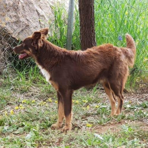 Boof - Cross breed x Kelpie Dog