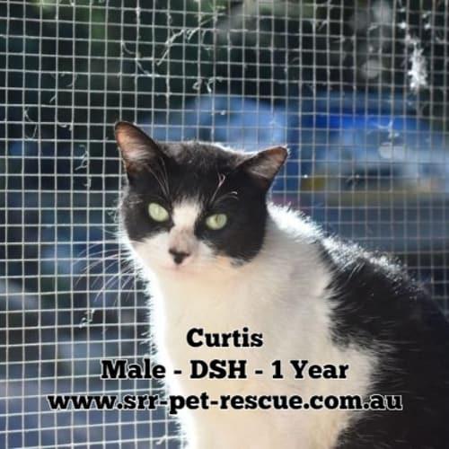 Curtis - Domestic Short Hair Cat