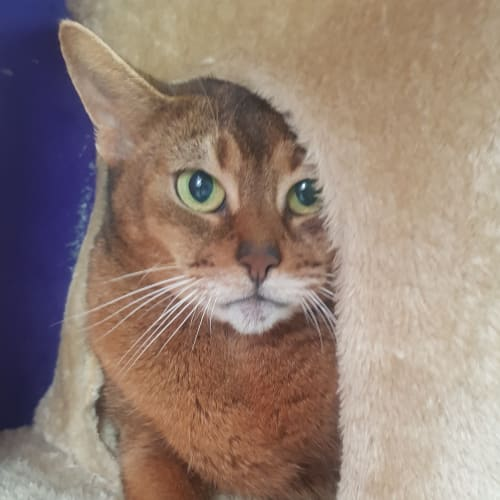 Touch of glass - Abyssinian Cat