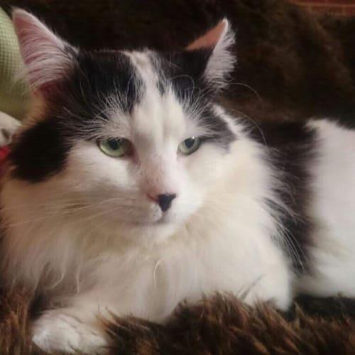 Frank - Located in Preston - Domestic Medium Hair Cat