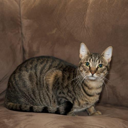 AK1892 - Fyfe - Domestic Short Hair Cat