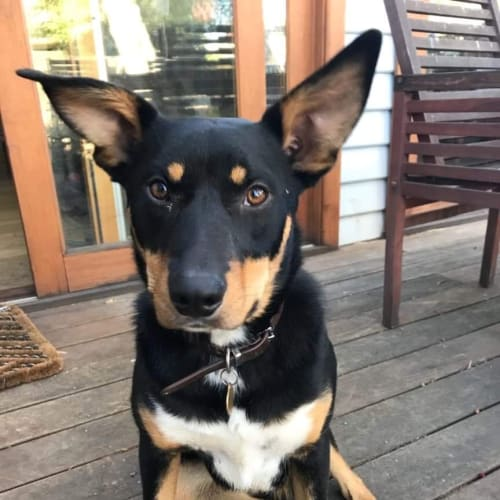 Mallee *Assisted rehoming - Kelpie Dog