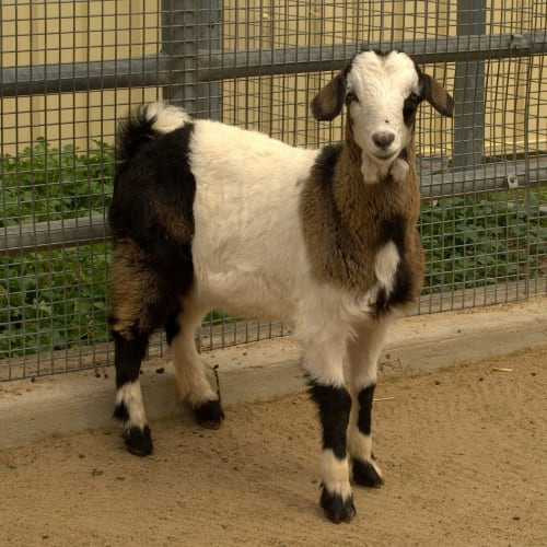 Snowpea -  Goat