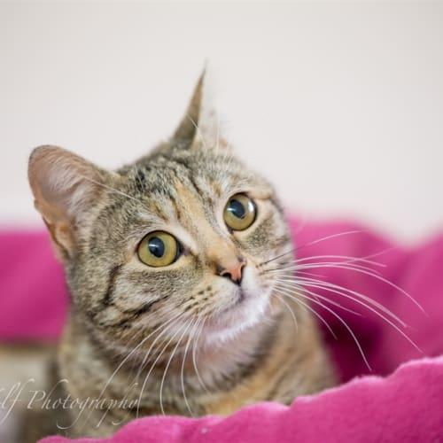 Gertie - Domestic Short Hair Cat