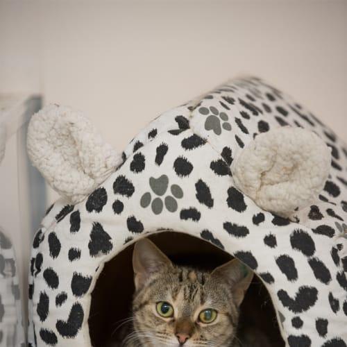Tati - Domestic Short Hair Cat