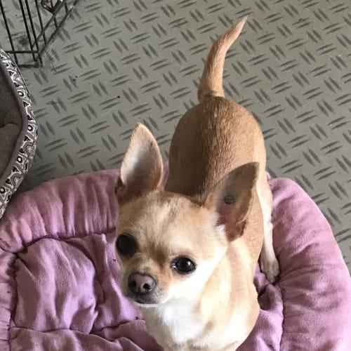 Toffee - Chihuahua Dog