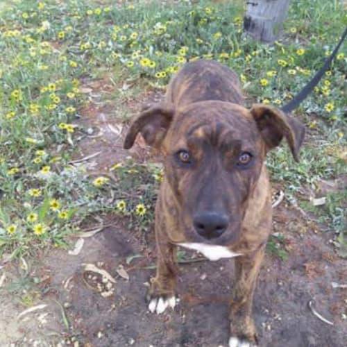 Butch - Bull Arab x Bullmastiff Dog
