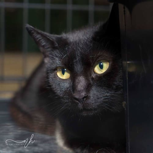 AC0541 – Pepper - Domestic Short Hair Cat