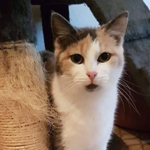 AC0932 - Brown Sugar - Domestic Short Hair Cat