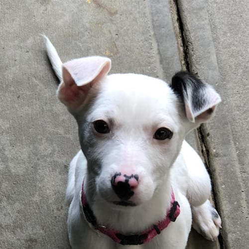 Peach - Staffordshire Bull Terrier X Dog