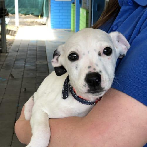 Pineapple - Staffordshire Bull Terrier X Dog