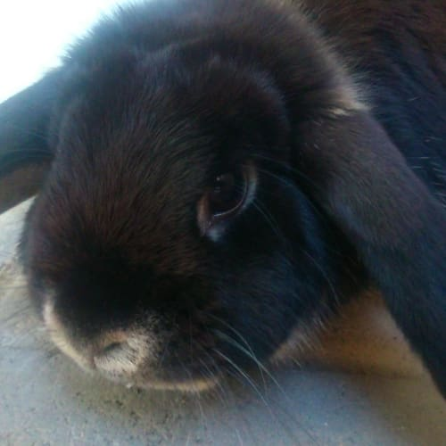 Gizmo - Lop Eared Rabbit