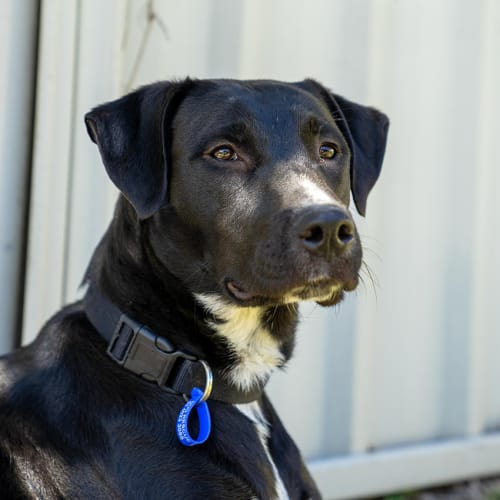 Luna ~ lovely 8mo Lab x girl - Labrador Dog