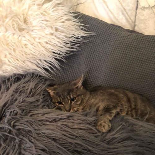 G  - Domestic Short Hair Cat