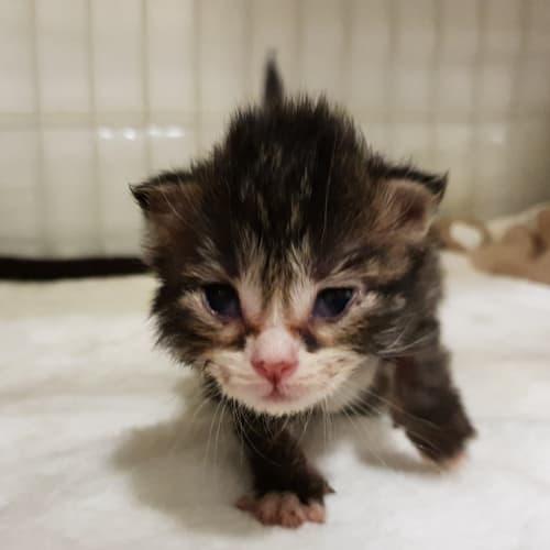 Wendel  - Domestic Medium Hair Cat