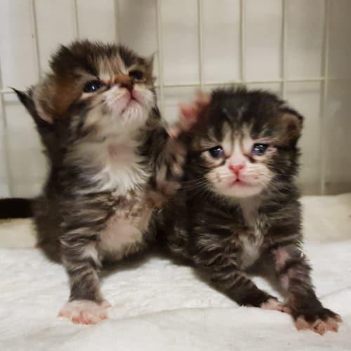 Siblings and Pairs - Domestic Long Hair x Domestic Short Hair x Domestic Medium Hair Cat