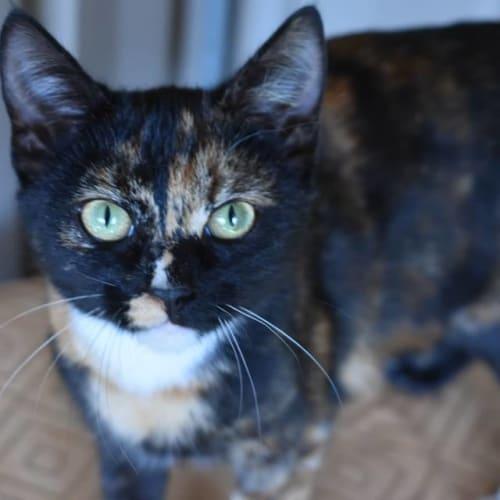 Zelda - Domestic Short Hair Cat
