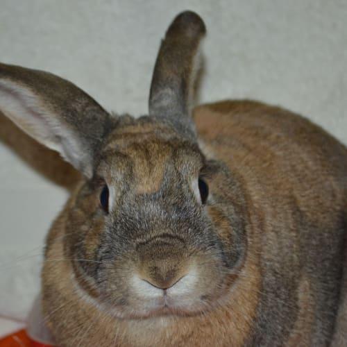 Sesame - Dwarf Rabbit
