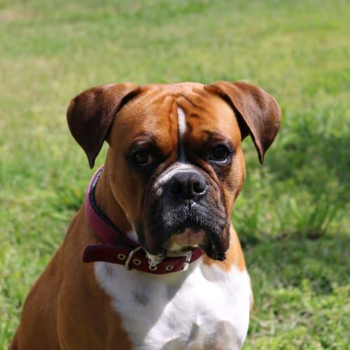 Marco - Boxer Dog