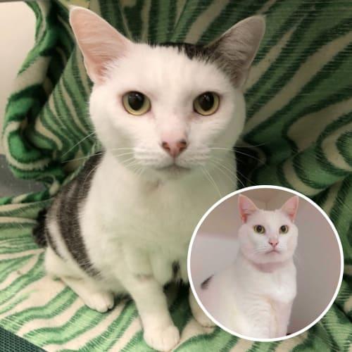 Loki & Neo - Domestic Short Hair Cat