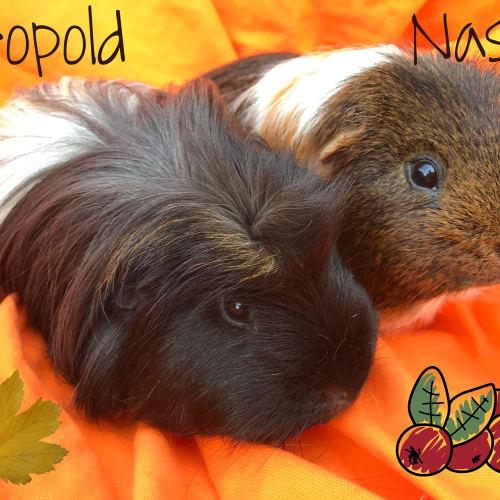 Leopold & Nash - Guinea Pig