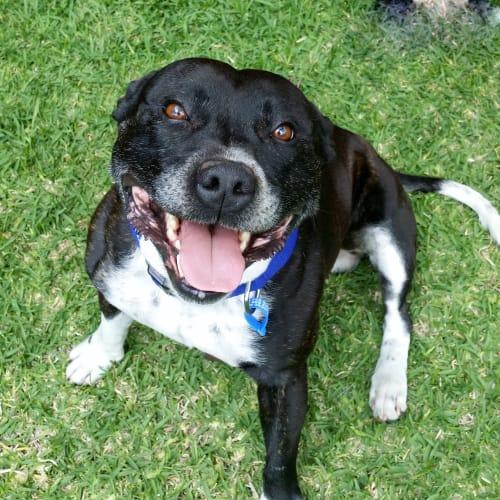 Beau - Staffordshire Bull Terrier Dog