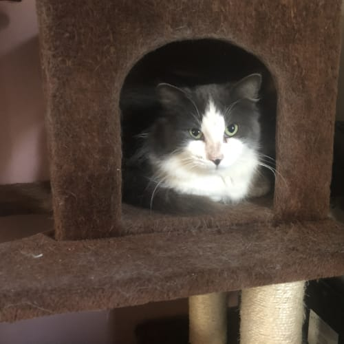 Wolfe - Domestic Medium Hair Cat