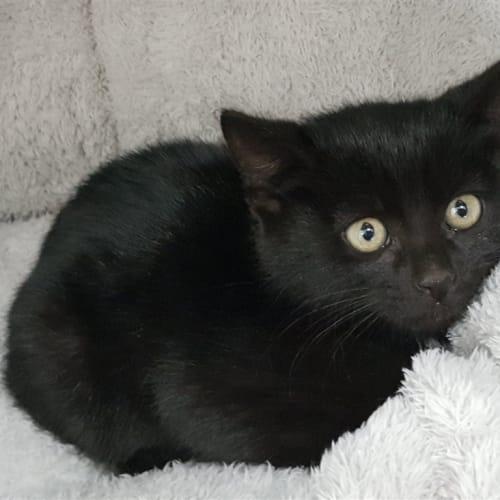 Spirit - Domestic Short Hair Cat