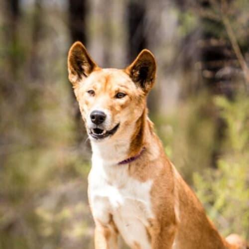 Bonnie - Dingo Dog