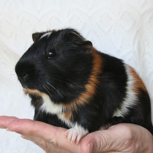 Toto -  Guinea Pig
