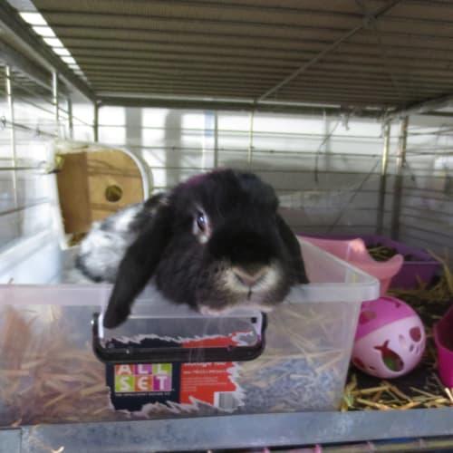 Dee Dee - Cashmere x Dwarf lop Rabbit