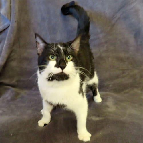 Spike - Domestic Short Hair Cat