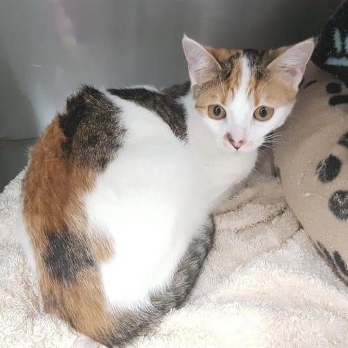 Princess Ruby - Domestic Short Hair Cat