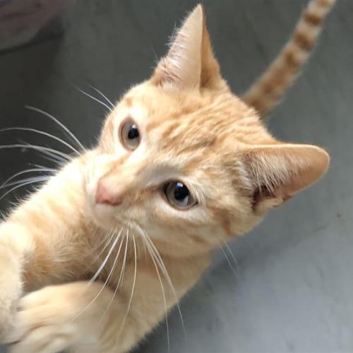 Rufus - Domestic Short Hair Cat