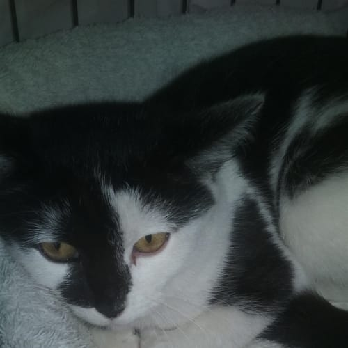 Yiggy - Domestic Short Hair Cat