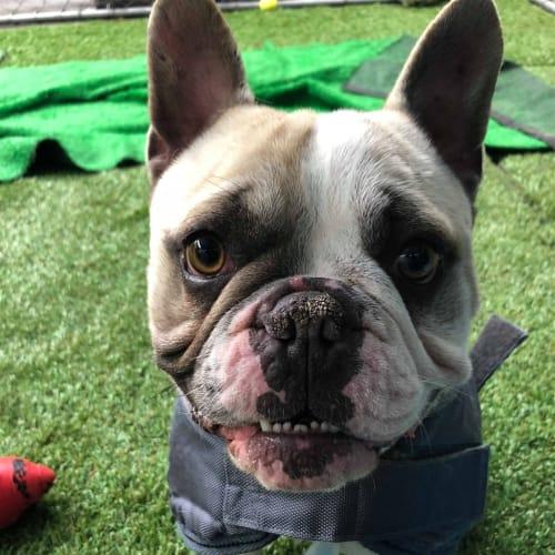 Pedro - French Bulldog