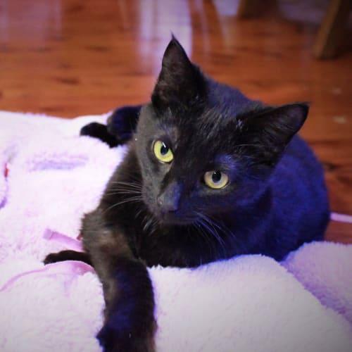 Mumma 💞 - Domestic Short Hair Cat