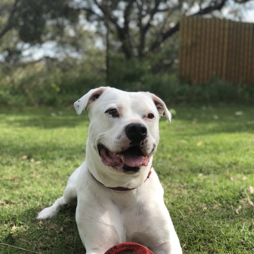 Stone (was Buster) - American Bulldog