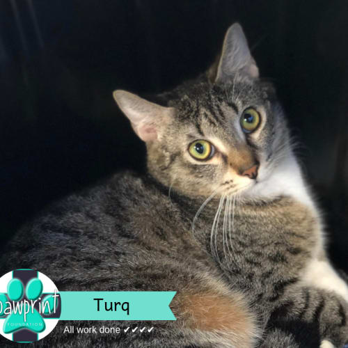 Turq - Domestic Short Hair Cat