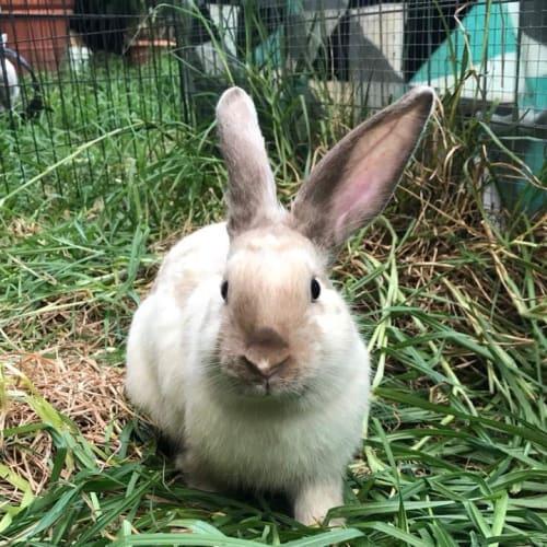 Archala - Mini Lop Rabbit