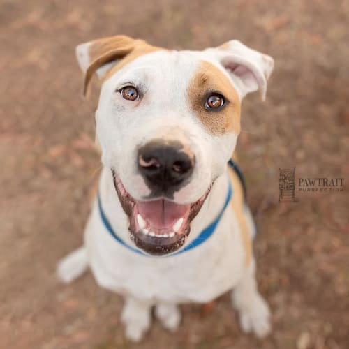 Tyson - Bull Arab Dog