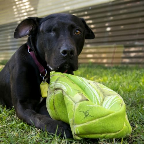 Ochi - Staffy Dog