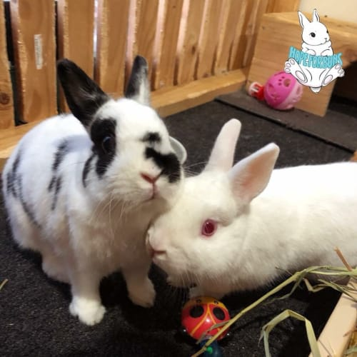 Roger and Sophie  - Netherland Dwarf Rabbit