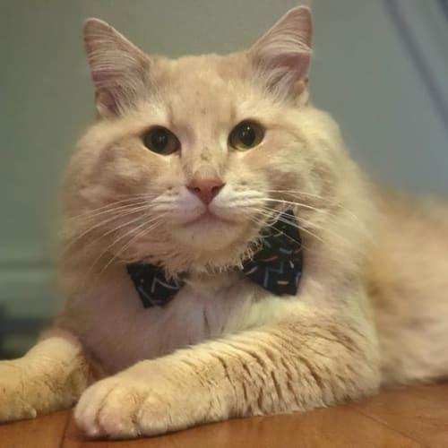 Peanut - Domestic Long Hair Cat